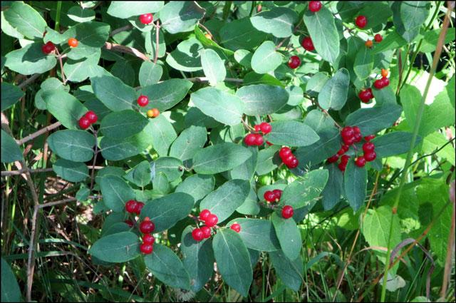 red-berry-bush-2