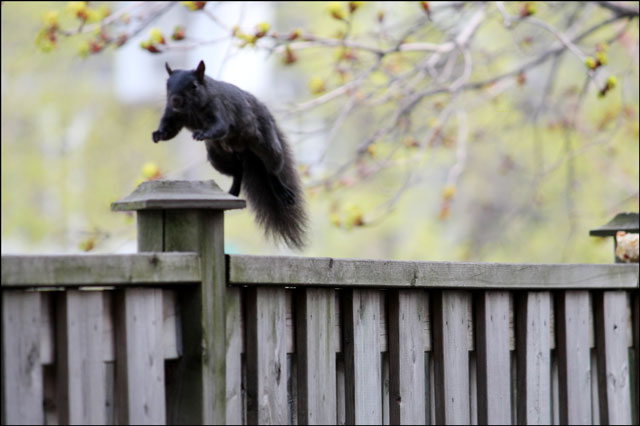 squirrel-jumping