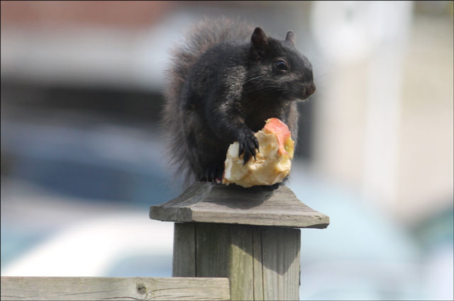 squirrel-with-apple-02