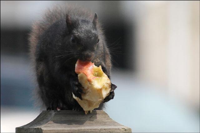 squirrel-with-apple-close-u