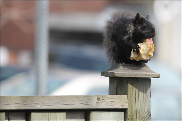 squirrel-with-apple