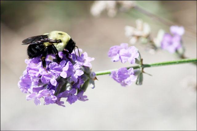 bee-on-lavender-4