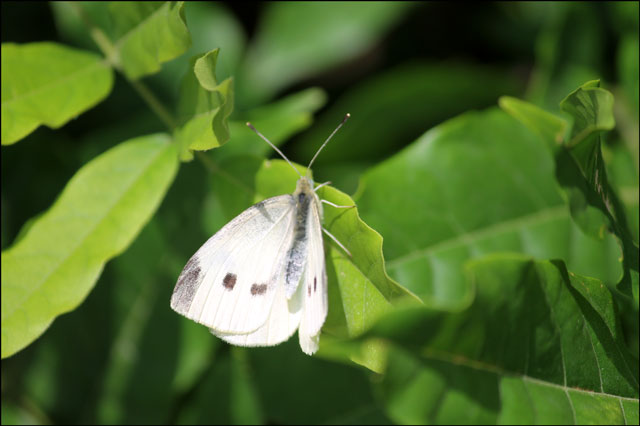 sulpur butterfly