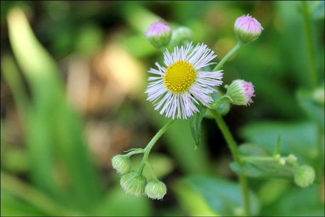 daisy-fleabane-wildflower
