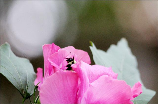 honey-bee-and-hibiscus