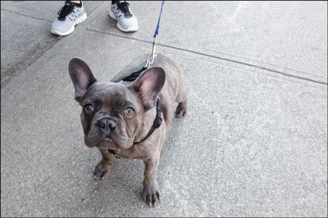 brown-French-Bulldog-2