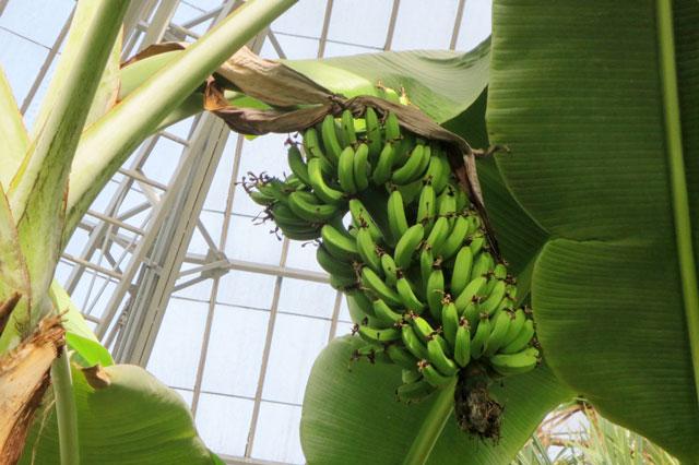 banana-growing-allan-gardens-toronto