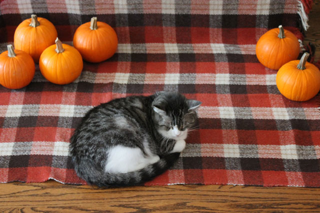 cat-with-pumpkins