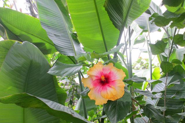 huge-hibiscus-allan-gardens
