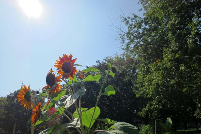 sunflowers-allan-gardens