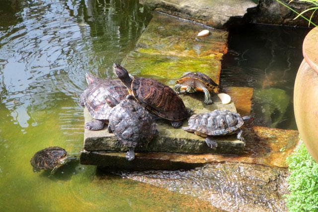 turtles-allan-gardens