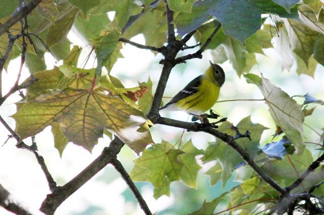 yellow bellied flycatcher fall visit toronto