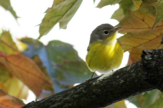yellow bellied flycatcher in toronto