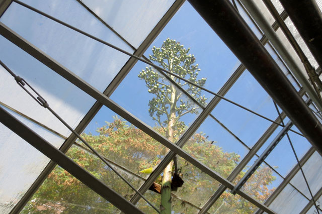 agave-flower-allen-gardens-2013