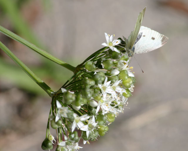 sulphur butterfly-and-wild-onion-01