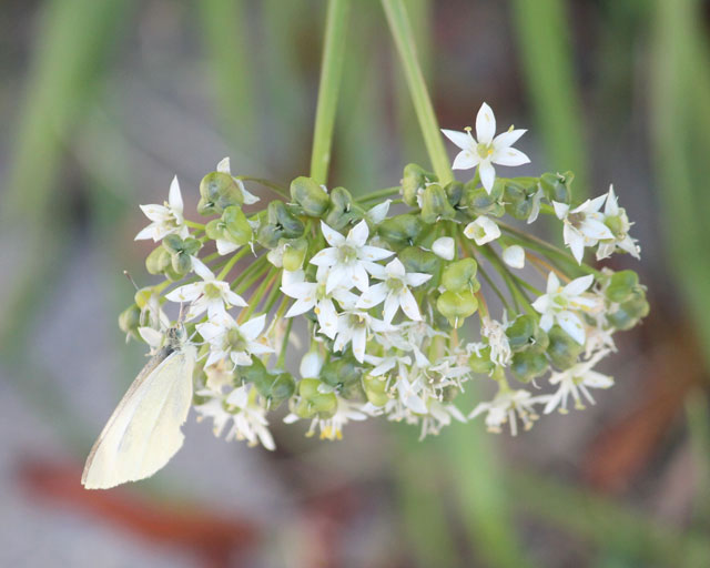 butterfly-and-wild-onion-02