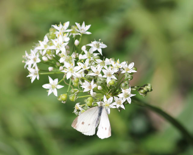butterfly-and-wild-onion-05