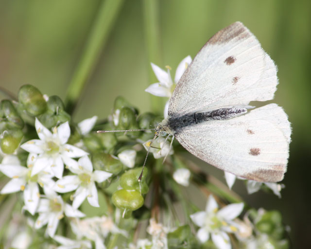 butterfly-and-wild-onion-06