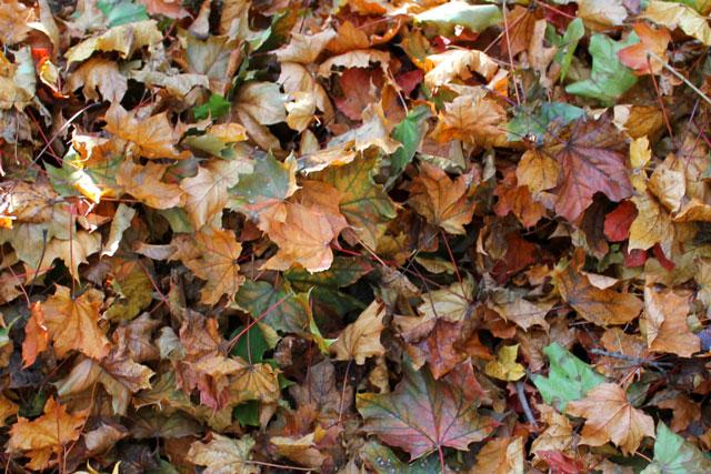coloured-maple-leaves