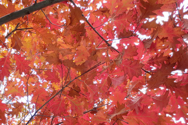 very-red-oak-leaves