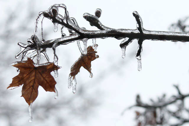 ice-on-maple-leaf-branch