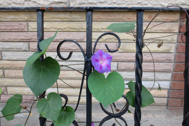 last-of-the-morning-glory