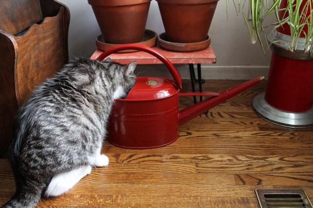cat-drinking-watering-can-2