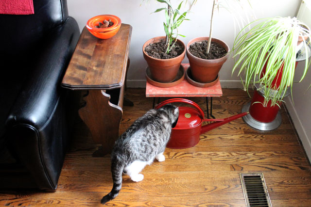 cat-drinking-watering-can
