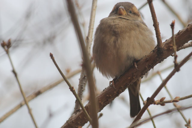 fluffy-sparrow