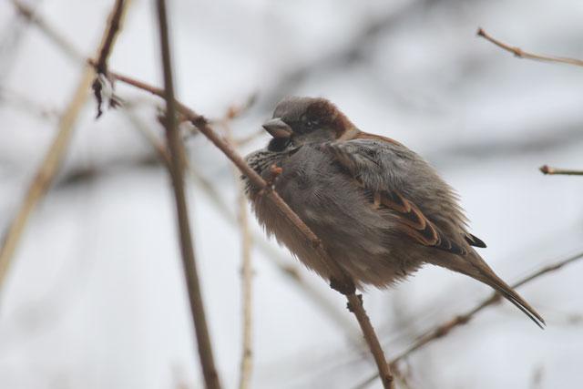 sparrow-01