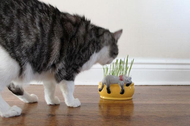 cat-eating-cat-grass
