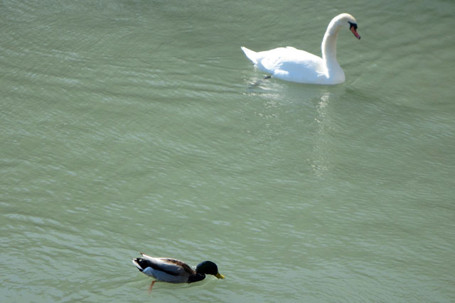 duck-and-swan