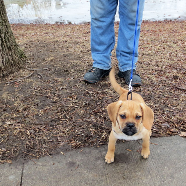 puggle-pup-3-months-old-01
