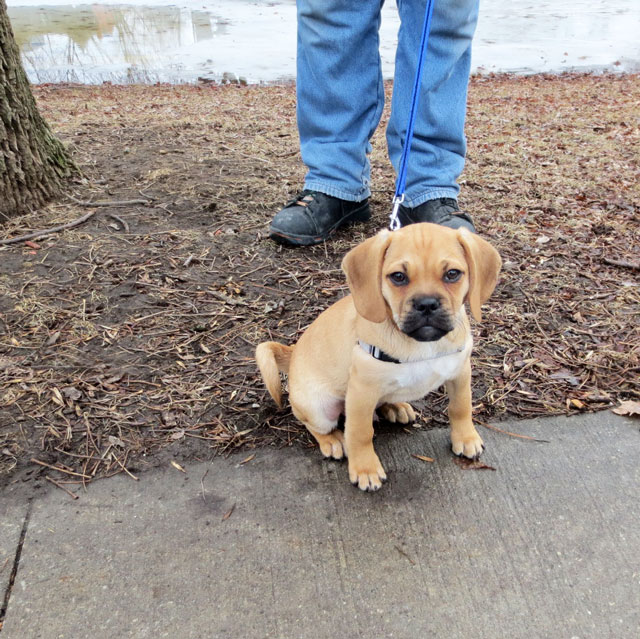 puggle-pup-3-months-old-02