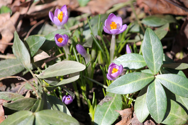 early-crocus-blossoms