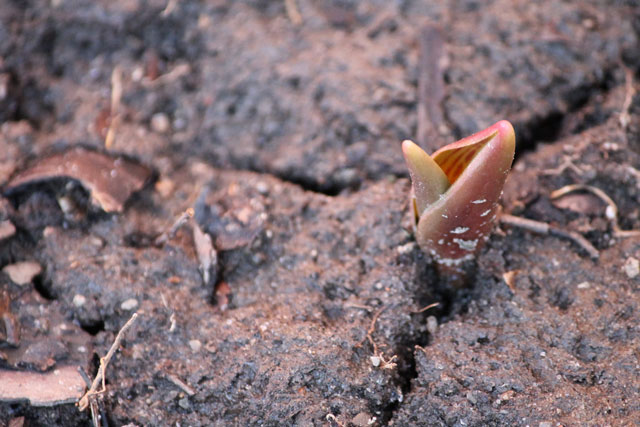 tulip-bud-poking-through