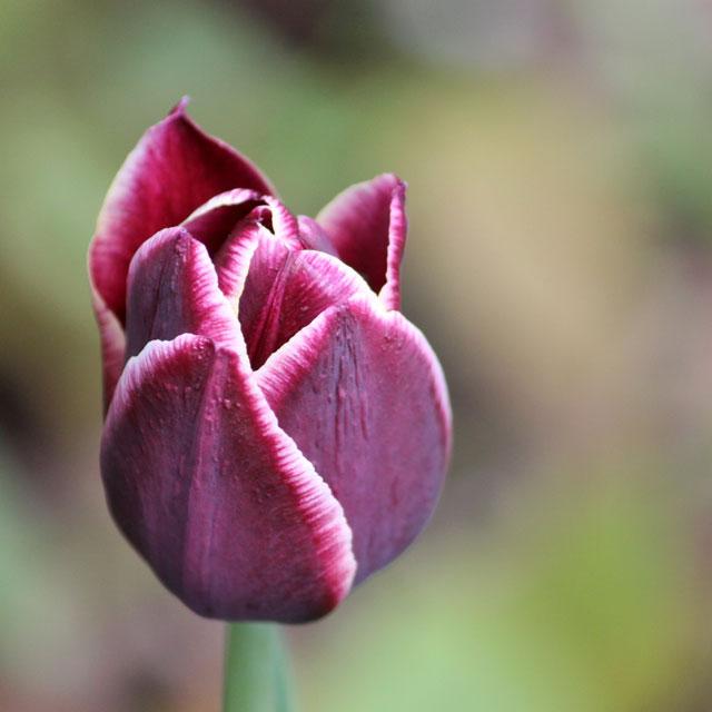 dark purple tulip with white egde 01