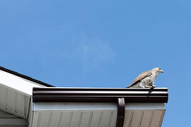 hawk-02-toronto-may-2014