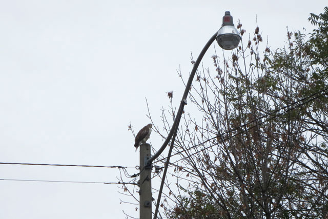 hawk-02-toronto-spring-2014