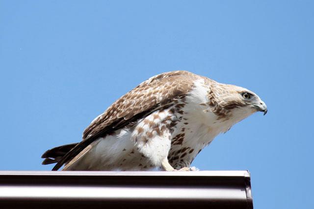 hawk-03-toronto-may-2014