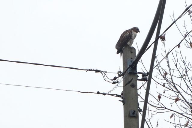 hawk-03-toronto-spring-2014