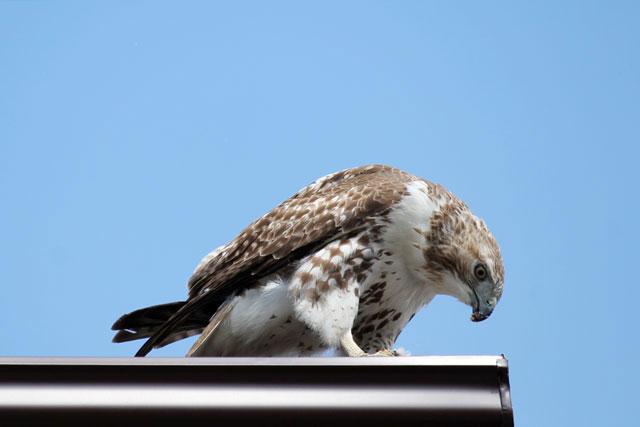 hawk-05-toronto-may-2014