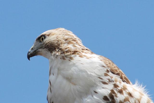 hawk-toronto-02-may-2014