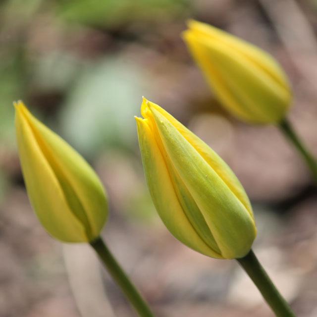 yellow tulip buds