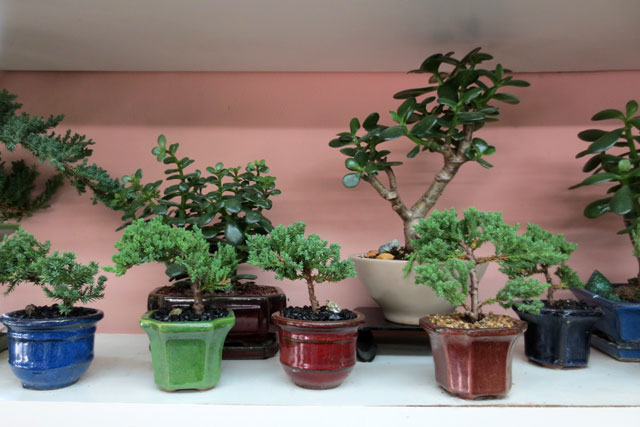 bonsai-and-jade-plants-at-shaw-flowers-and-gifts