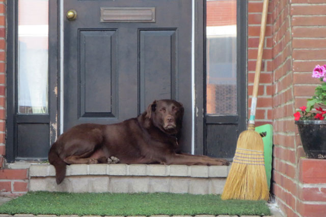 chocolate-labrador-on-front-stoop
