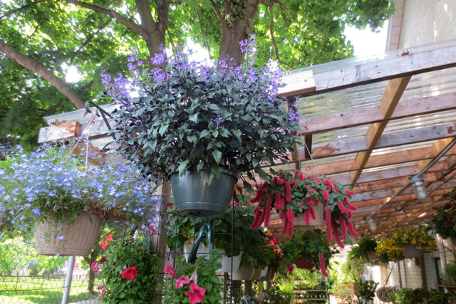 hanging-outdoor-plants-at-shaw-flowers-and-gifts