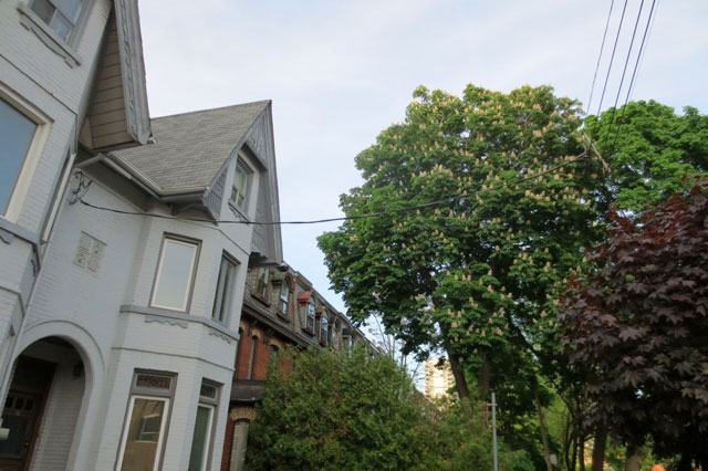 old-houses-chestnut-tree-in-bloom-toronto