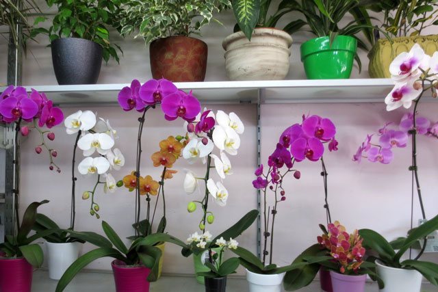 orchids-and-house-plants-at-shaw-flowers-and-gifts-dundas-street-toronto