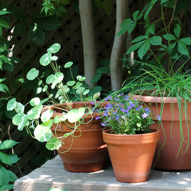 annual flowers in pots